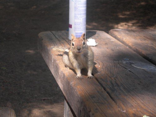Actual overly aggressive squirrel from our trip to Lake Tahoe